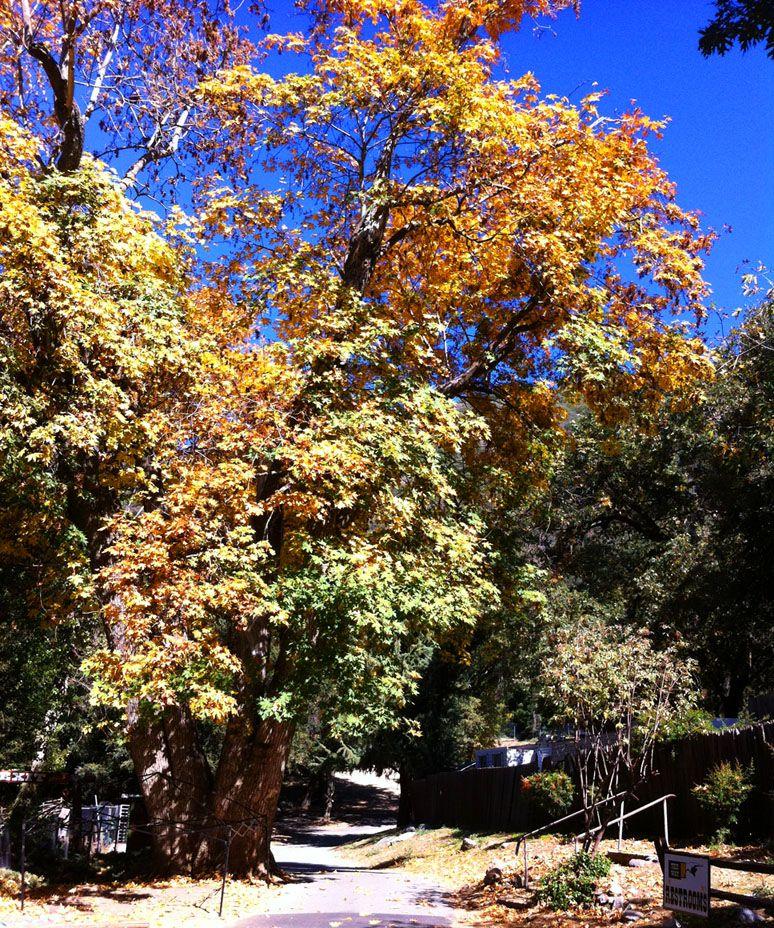 Oak Tree Village Leaves (California Travel)
