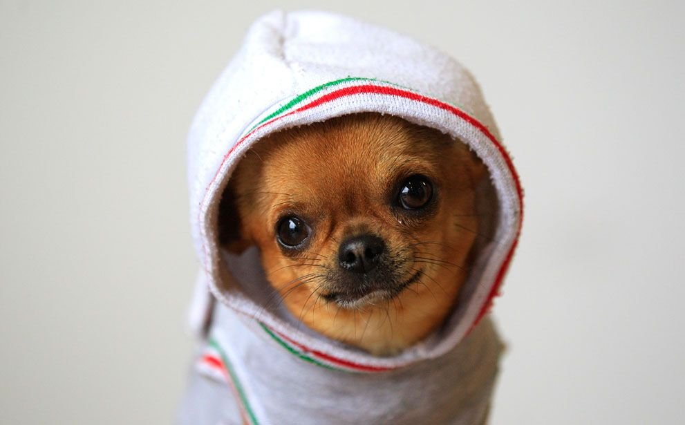 """Nando, a 2-year-old Chihuahua, poses during a portrait session for a photo contest organized by """"Il Messaggero"""""""
