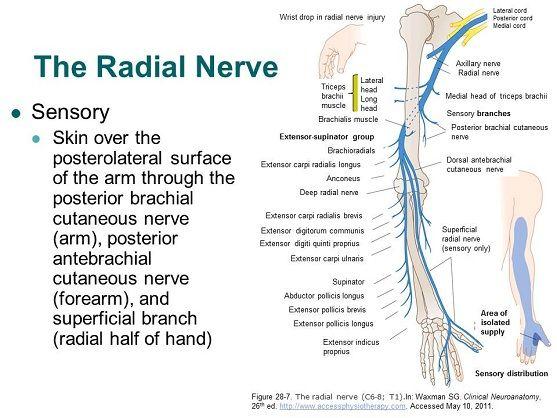 AccessPhysiotherapy - Brachial Plexus and Peripheral Nerves   A&P ...