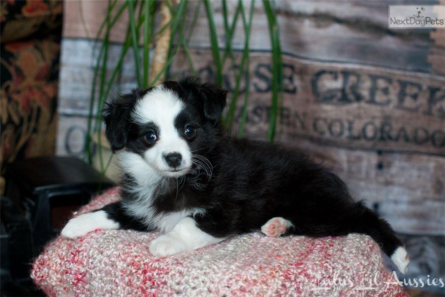 Lulu S Lil Darling Teacup Toy Aussie Nextdaypets Com Australian Shepherd Puppy