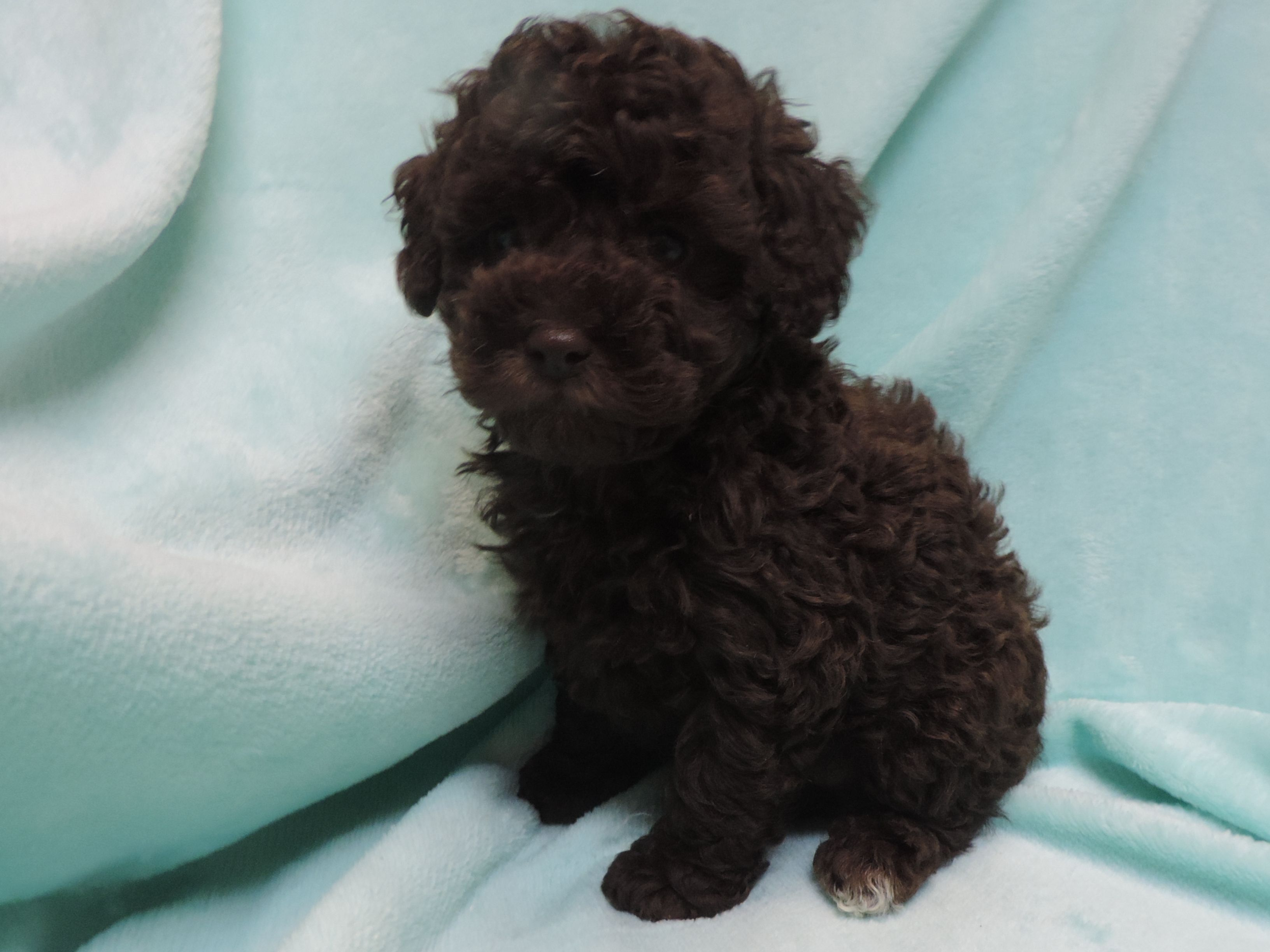 Shichon puppies for sale in kentucky - Collier Family Breeders Puppies For Sale In Louisville Kentucky Available To Ship Inside United States