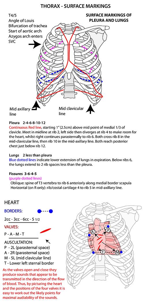 http://www.instantanatomy.net/thorax/areas/respiratorysystem/pleura ...