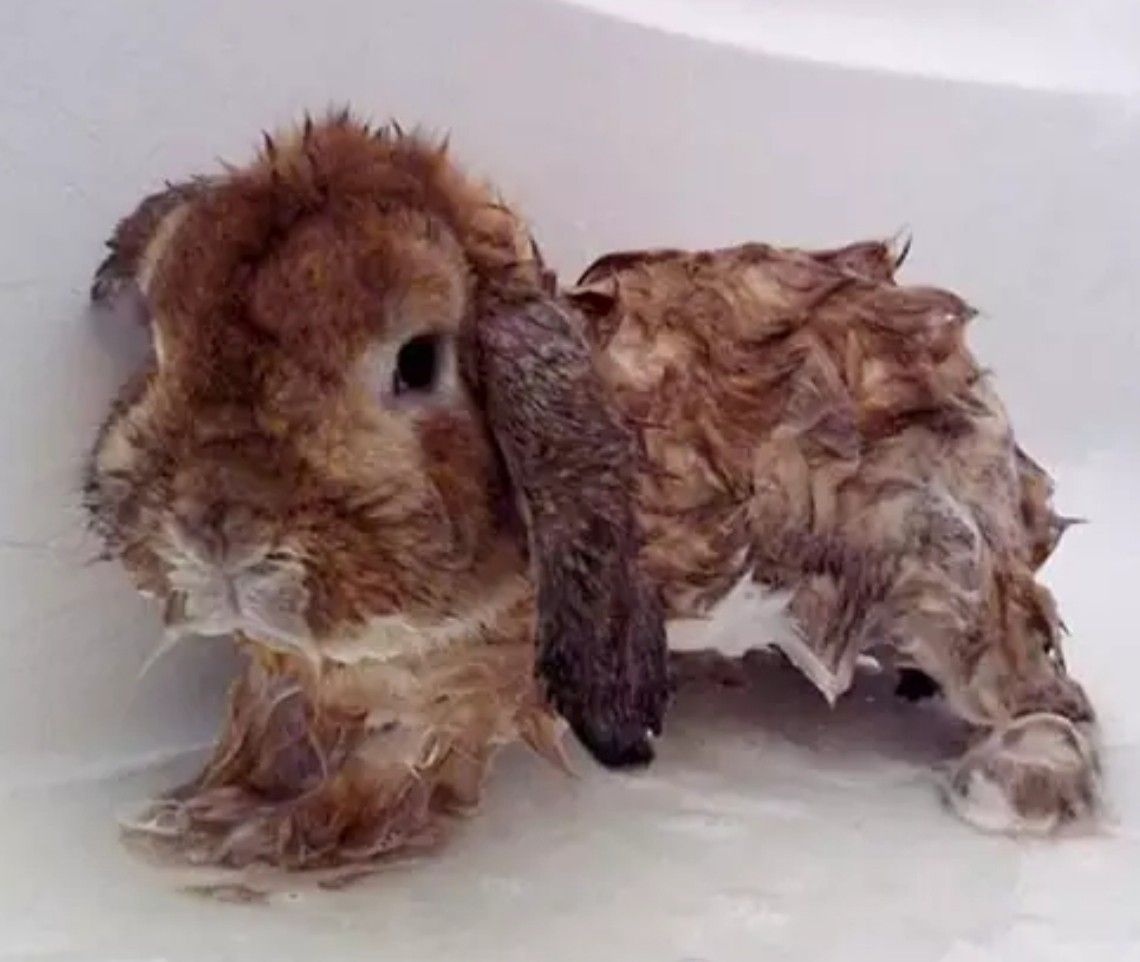 Do not bath the rabbit with images pet bunny
