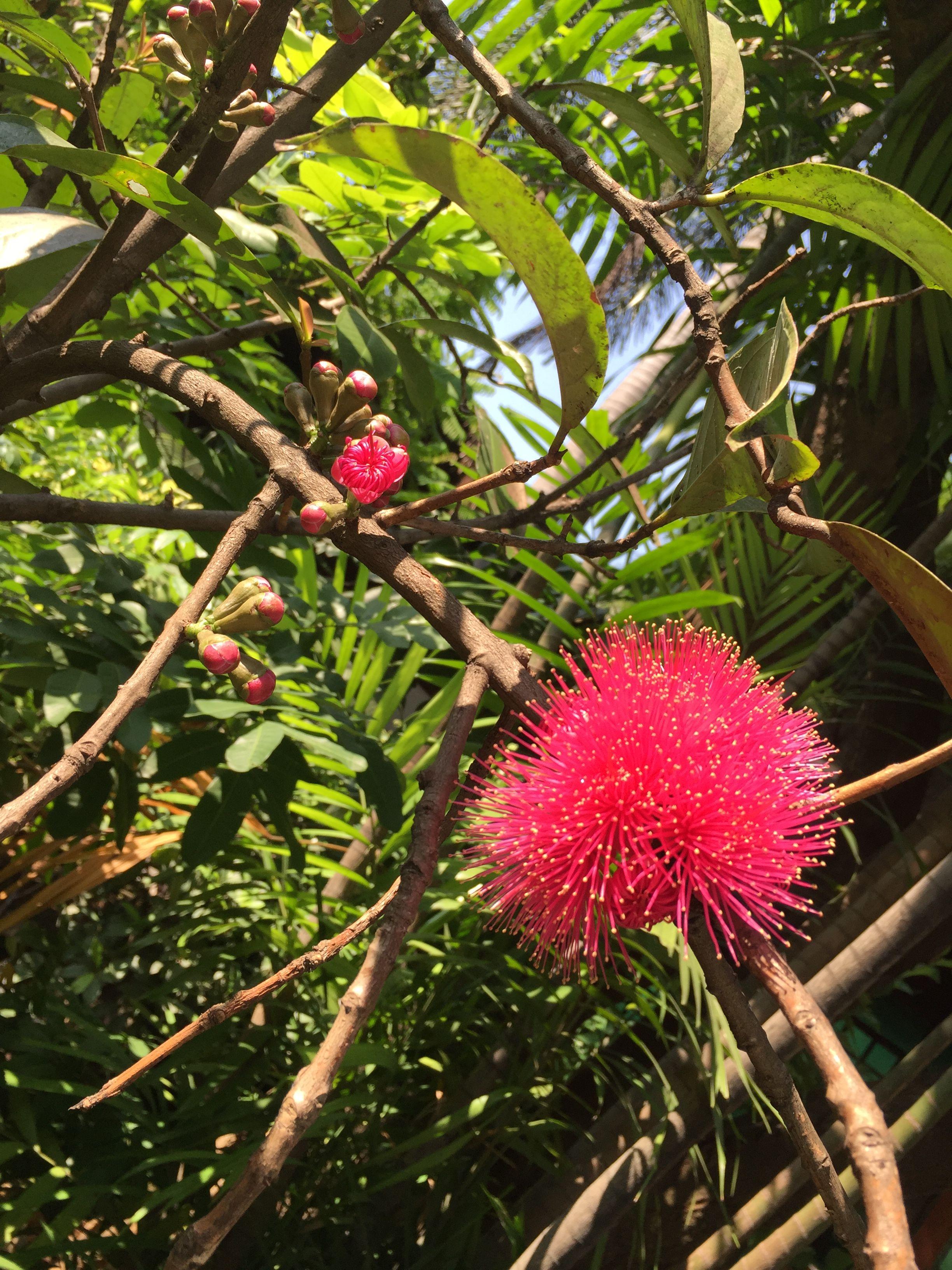 Bunga jambu Mimosa tree, Garden