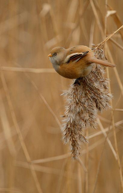 ♂ Bird Bearded Tit by Ben Andrew