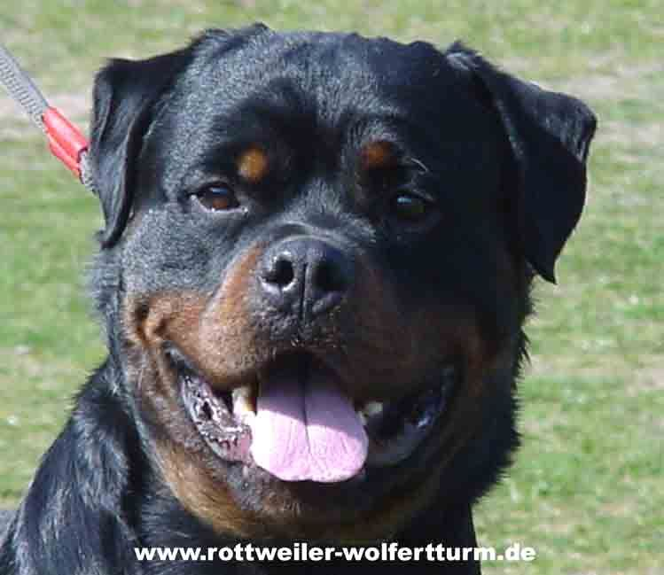 I Like German Rottweilers Better Than American Rottweilers Because