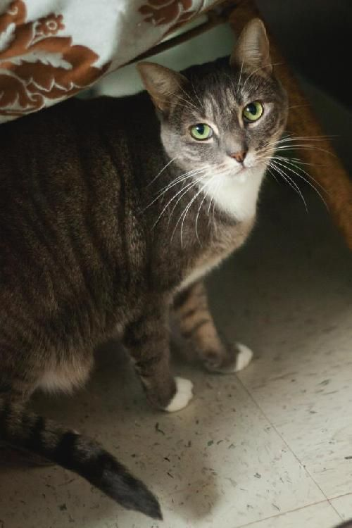 Meet Tabatha Gray, a Petfinder adoptable Domestic Short