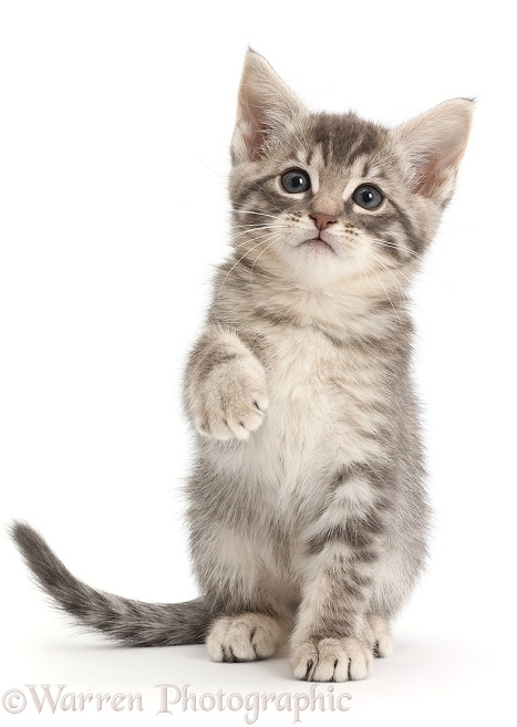 Silver Tabby Kitten With Raised Paw White Background Silver Tabby Kitten Tabby Kitten Tabby