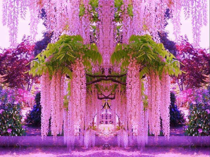 Wisteria pink over doorway pretty flowers pinterest wisteria funny pictures about a purple wisteria flower garden in japan oh and cool pics about a purple wisteria flower garden in japan mightylinksfo