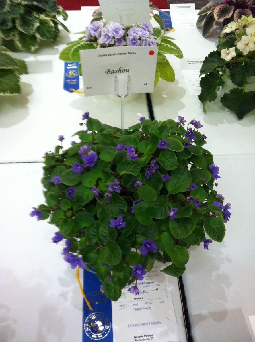 N-Avatar 2 Blätter// 2 leaves African Violet Usambaraveilchen