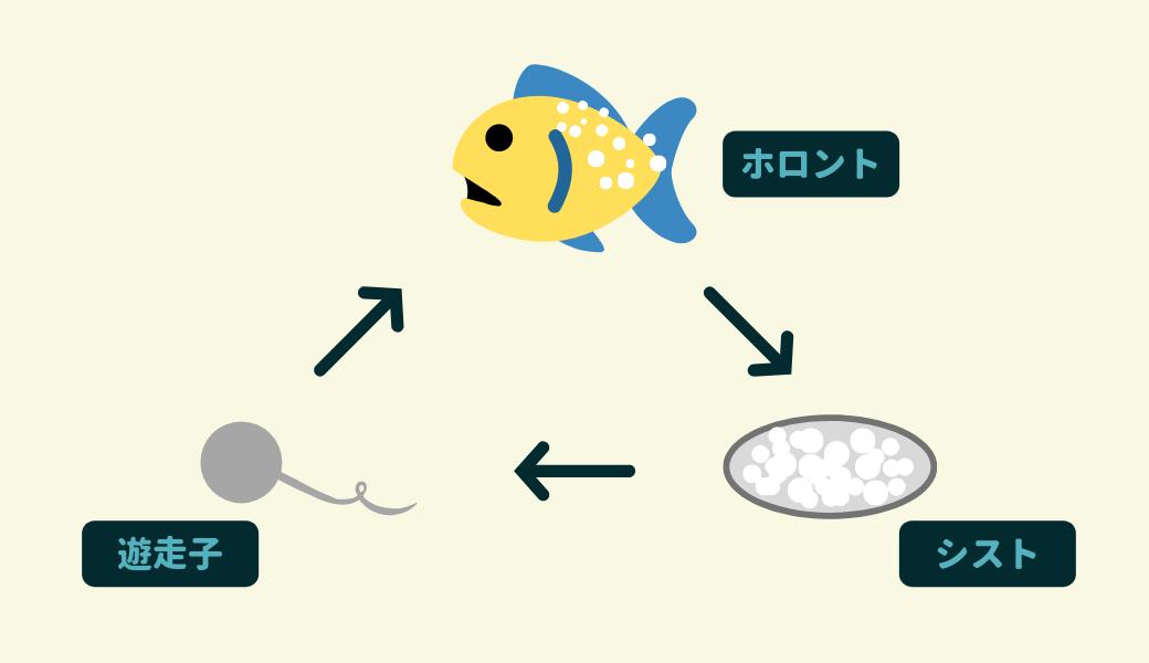 白点病 ウオノカイセンチュウ の生活環 治療 アクアリウム 魚