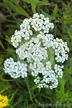 Yarrow is beautiful with deep green foliage and grayish white flower yarrow is beautiful with deep green foliage and grayish white flower clusters they grow up mightylinksfo