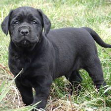 Lab Mastiff And Mastador Puppies For Sale At Covenant Farm Puppies Mastador Puppies Puppies For Sale Mastiffs