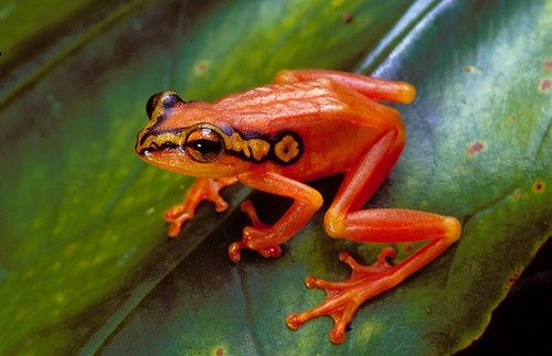 Frogs hopping | Golden sedge frog (Hyperolius puncticulatus)