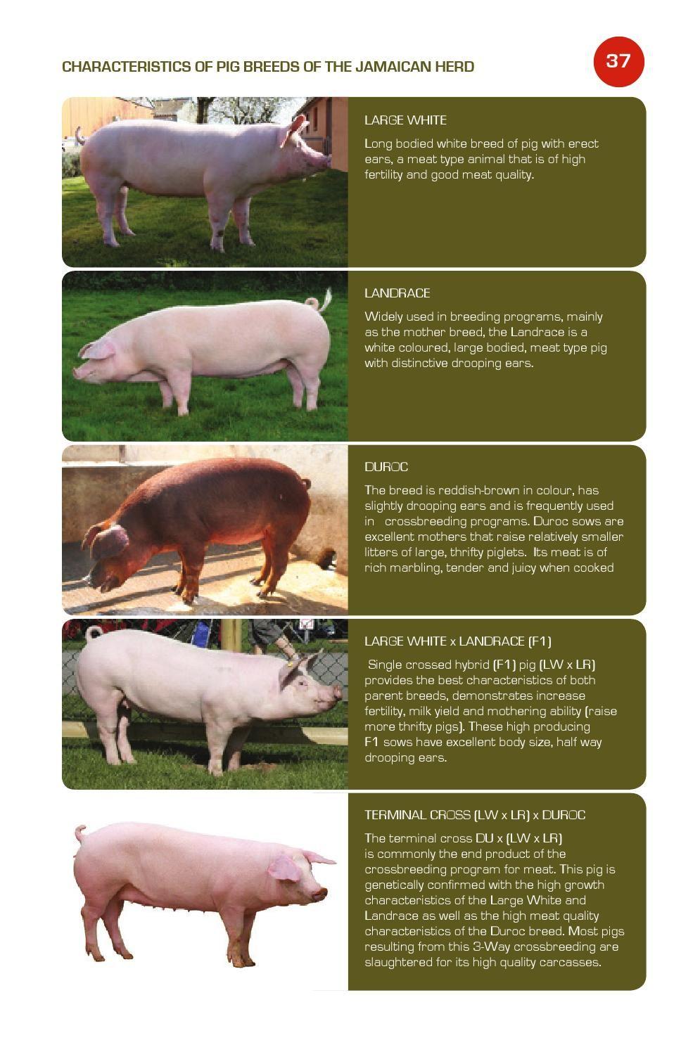 Imagen relacionada | RAZAS DE CERDOS | Pinterest | Razas de cerdos y ...
