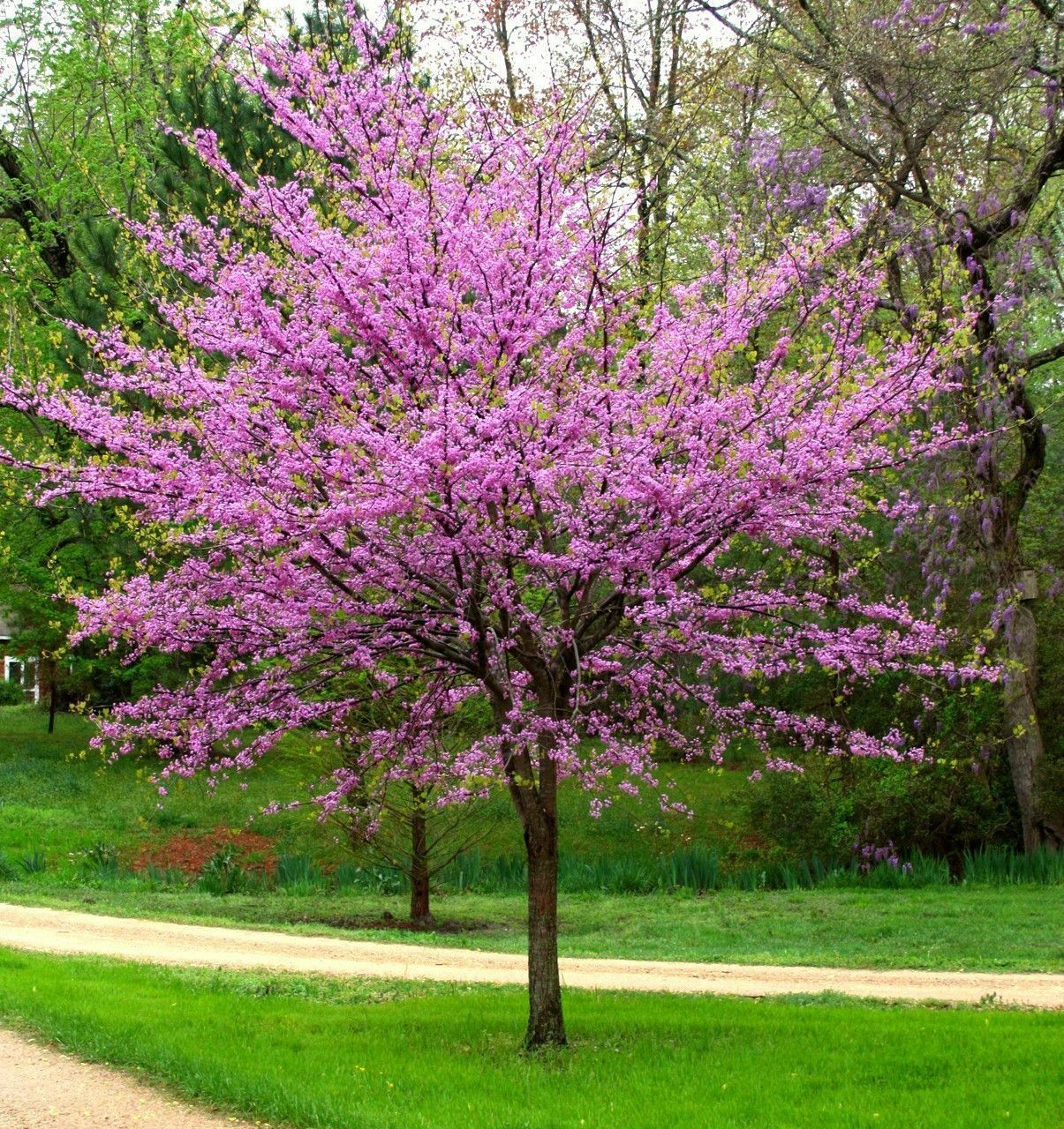 Cercis Canadensis Eastern Redbud Beautiful Bushes Small Trees