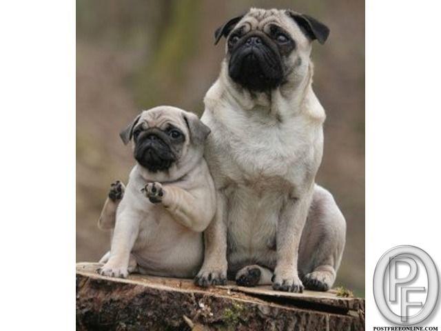 Wanted To Buy Pug Puppies At Cheap Price In Mumbai Maharashtra