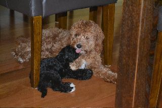 Red Black Toy Cavoodles Puppies Animals Dogs