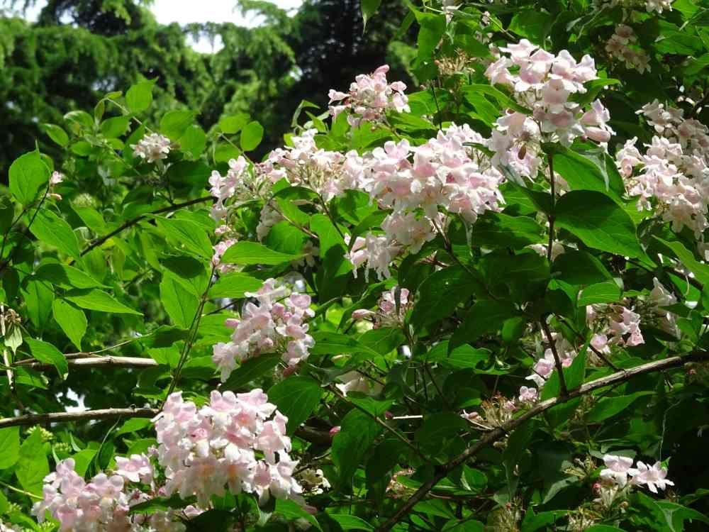 Abelia : plantation, taille et conseils d\'entretien ...