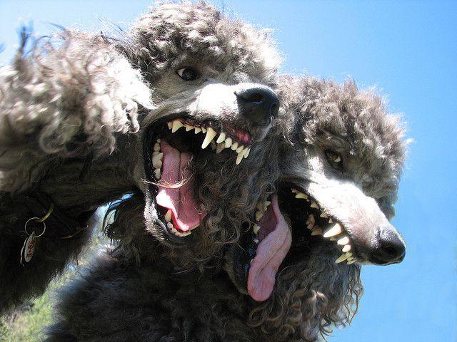 Synchronized Ha Poodle Dogs Dog Portraits