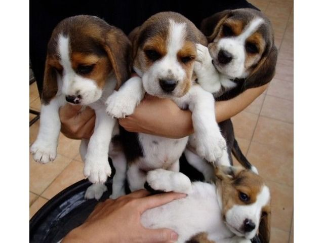 Stunning Beagle Puppies For Sale freeclassifiedsusa