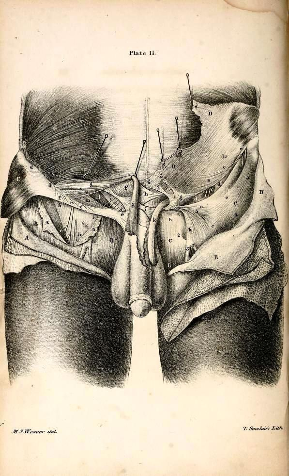 Anatomy of the Male Groin | Art | Anatomic | Pinterest | Anatomy and ...