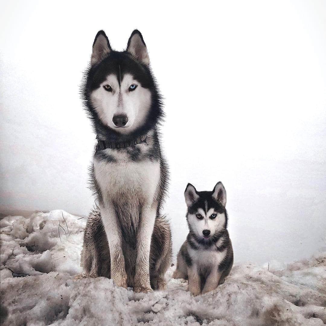 How Cute Is That By Husky Huskies Huskiesofinstagram