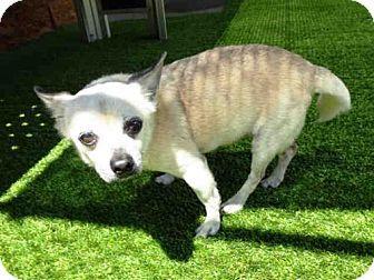 Raleigh Nc Chihuahua Mix Meet Yogi A Dog For Adoption