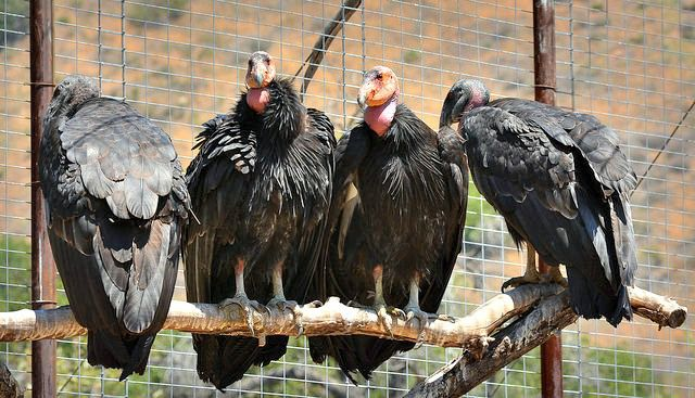 Four condors await medical evaluation at the condor capture - medical evaluation