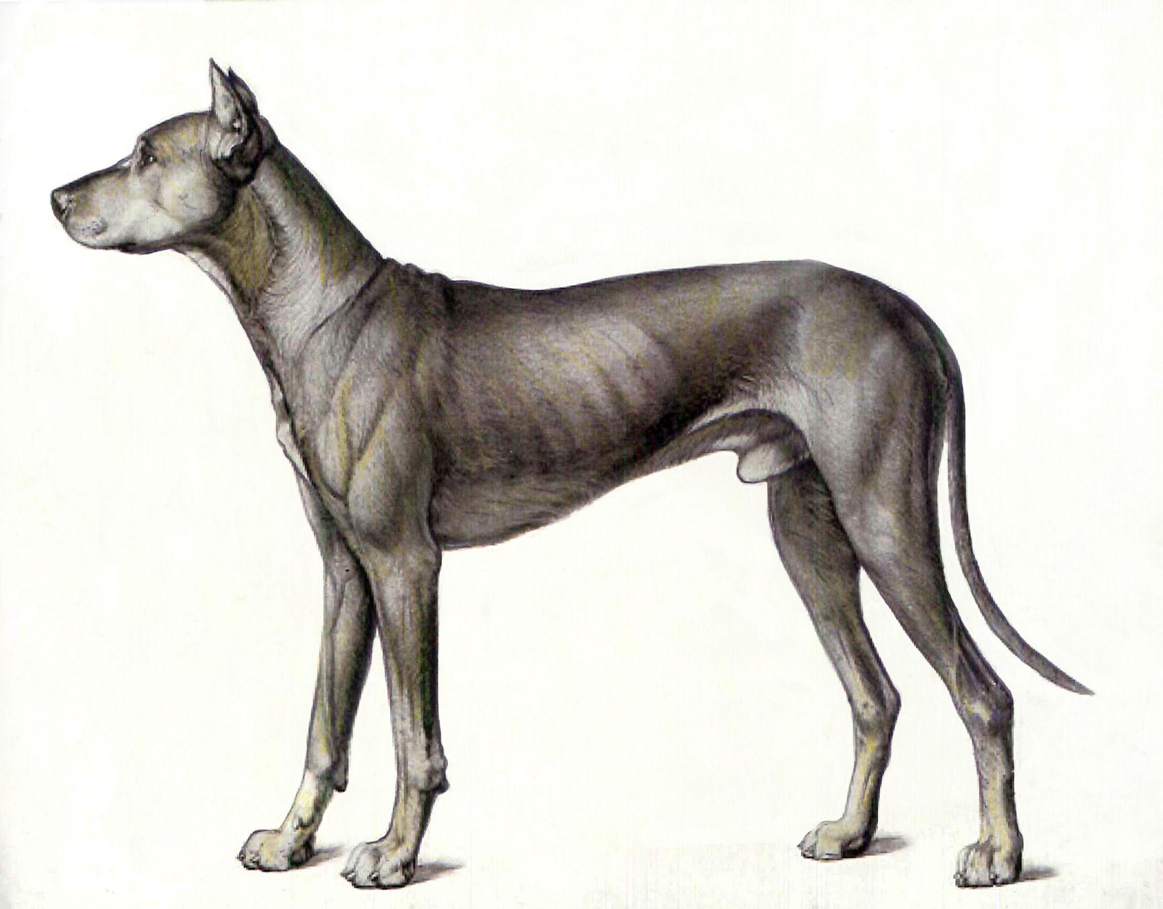 Anatomía del perro. Juan Azpeitia. 2 | tattoo ideas | Pinterest ...