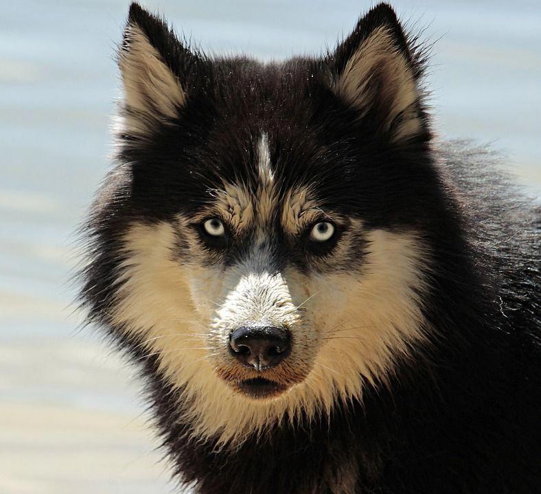 Free Image On Pixabay Husky Dog Dog Breed Animal Perro Alaska Razas De Perros Nombres De Perros