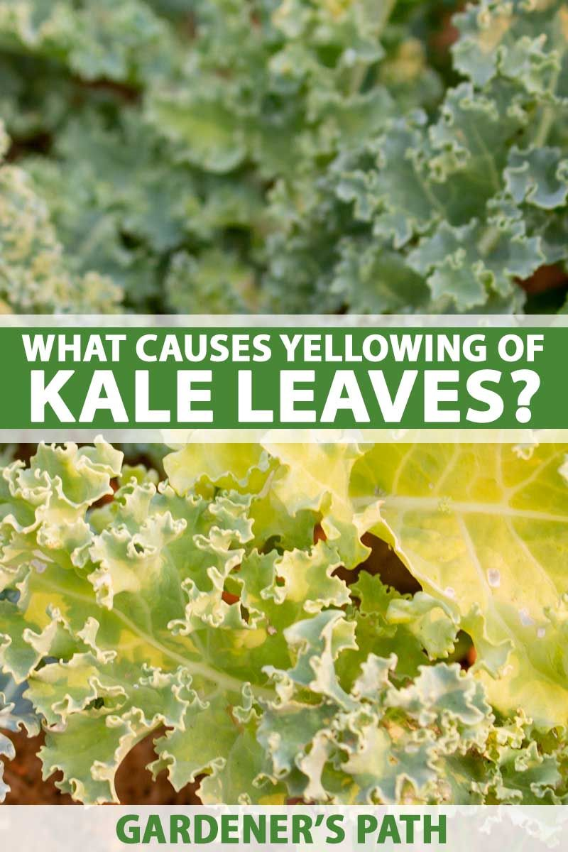 How to Manage Kale With Leaves that are Yellowing and Thinning Kale plants are susceptible to several bacterial diseases that cause the leaves to become yellow and thin out. Prevention is the best way to keep your plants safe from these infections. Read on to learn how to prevent these bacteria from spreading onto your kale plants.