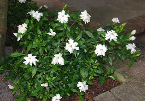 How To Care For Dwarf Gardenias Dwarf Gardenia Gardenia Shrub