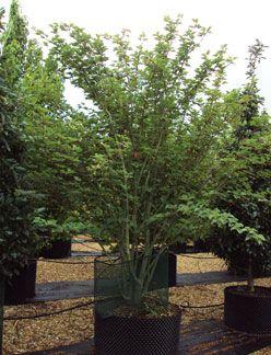Acer Davidii Snakebark Maple Character Trees Acer Yellow