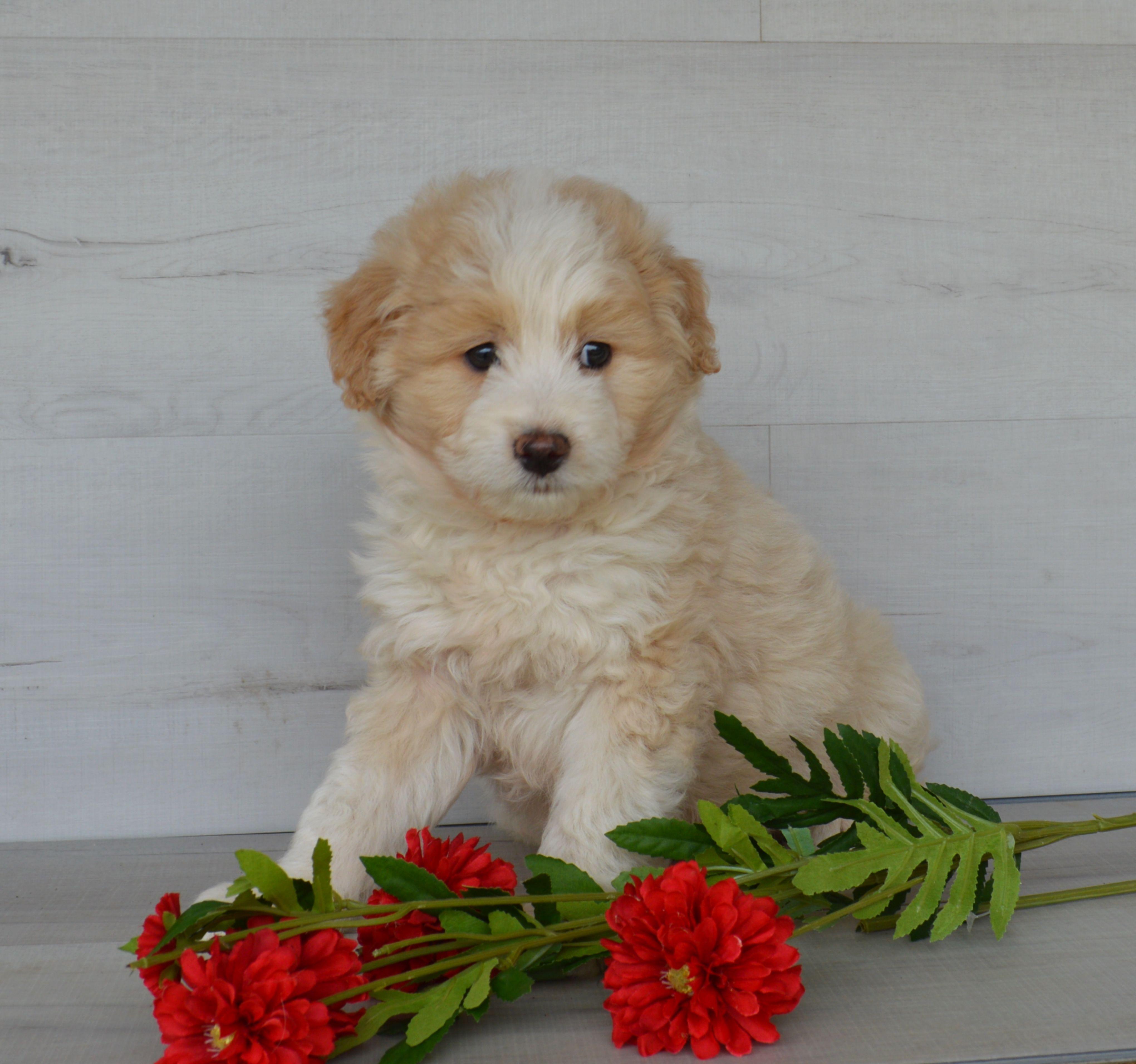 Puppies for Sale Aussie doodle puppy, Puppies, Puppy