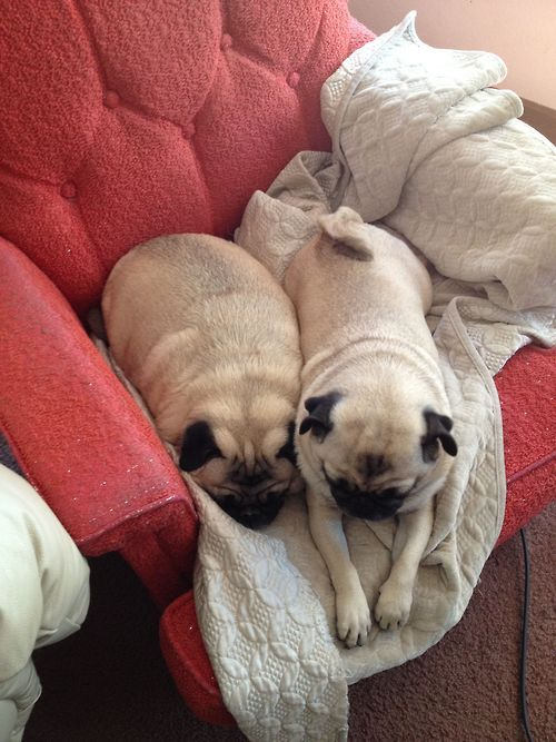 Pugs Come In All Different Bread Loaf Shapes And Sizes Pugs And