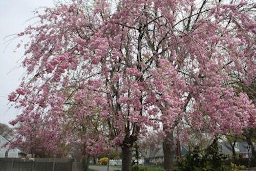 Frühling blühende Bäume: Ziemlich in Pink und Weiß – İdeen baum