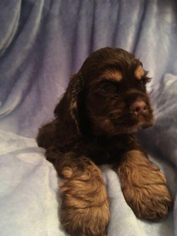 Cocker Spaniel Puppy For Sale In Lakeland Fl Adn 23446 On