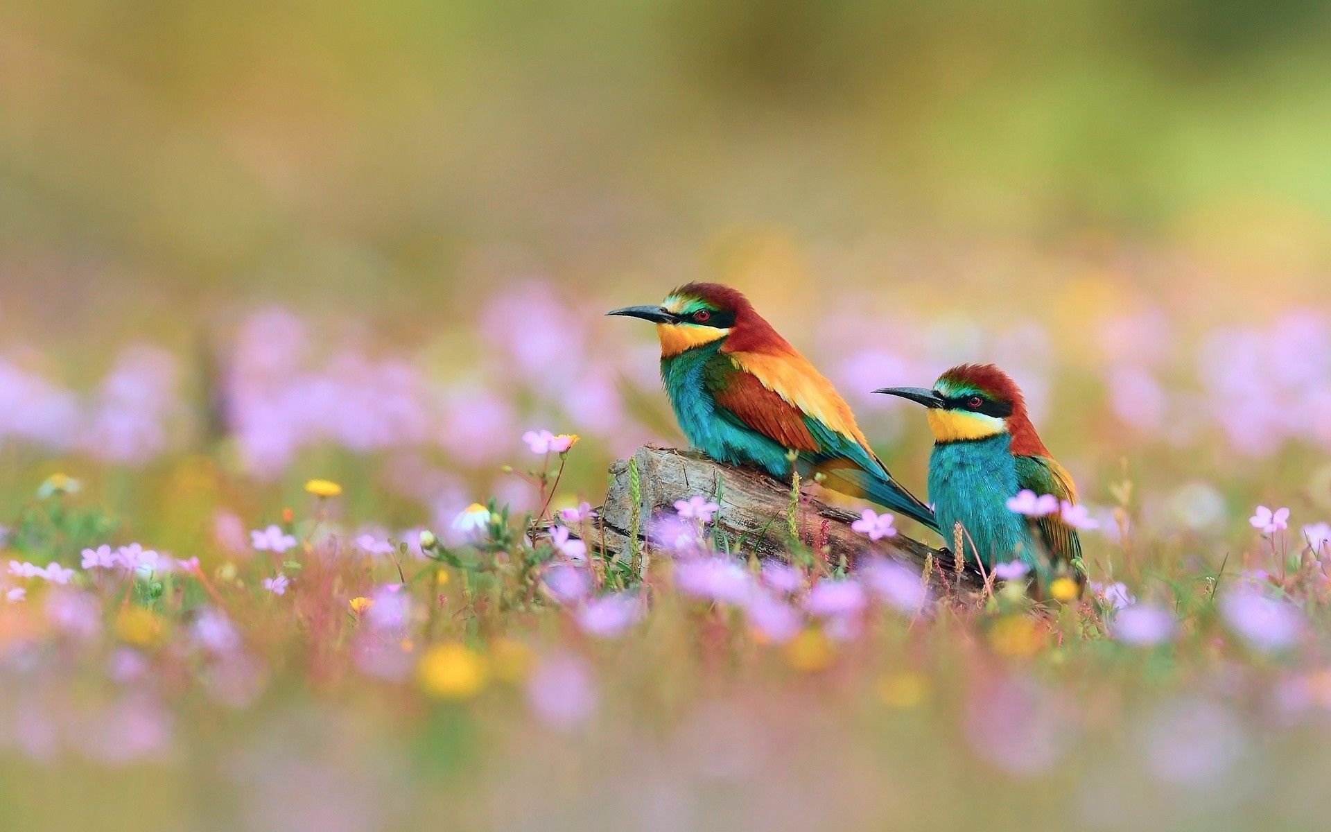 Desktop Hd Wallpapers Bee Eaters Birds Flowers Depth Of Field