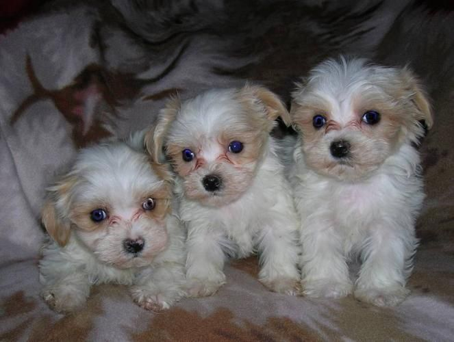 Image Detail For Maltipoo Puppies For Sale In Calgary Alberta