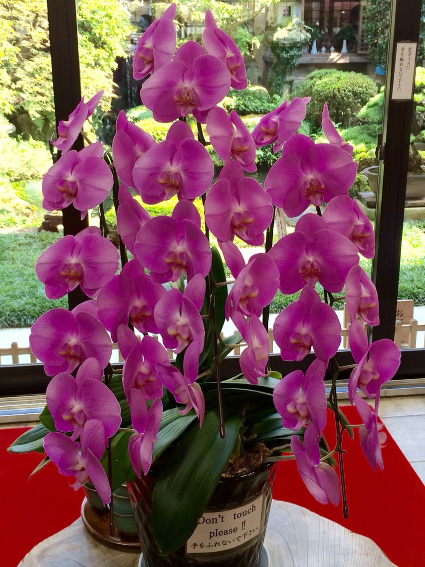 Moth Orchid Miyajima Island Japan Orchids Orchid Plants Moth Orchid