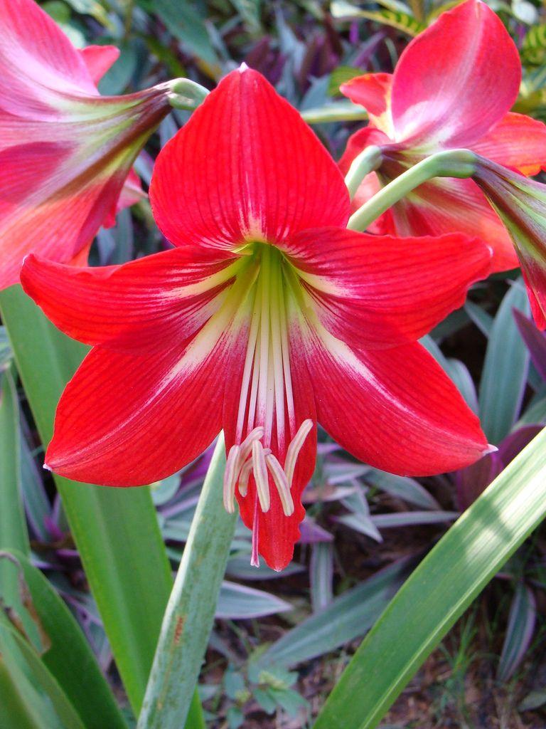 Barbados Lily Lily Flower Hoya Plants Amaryllis