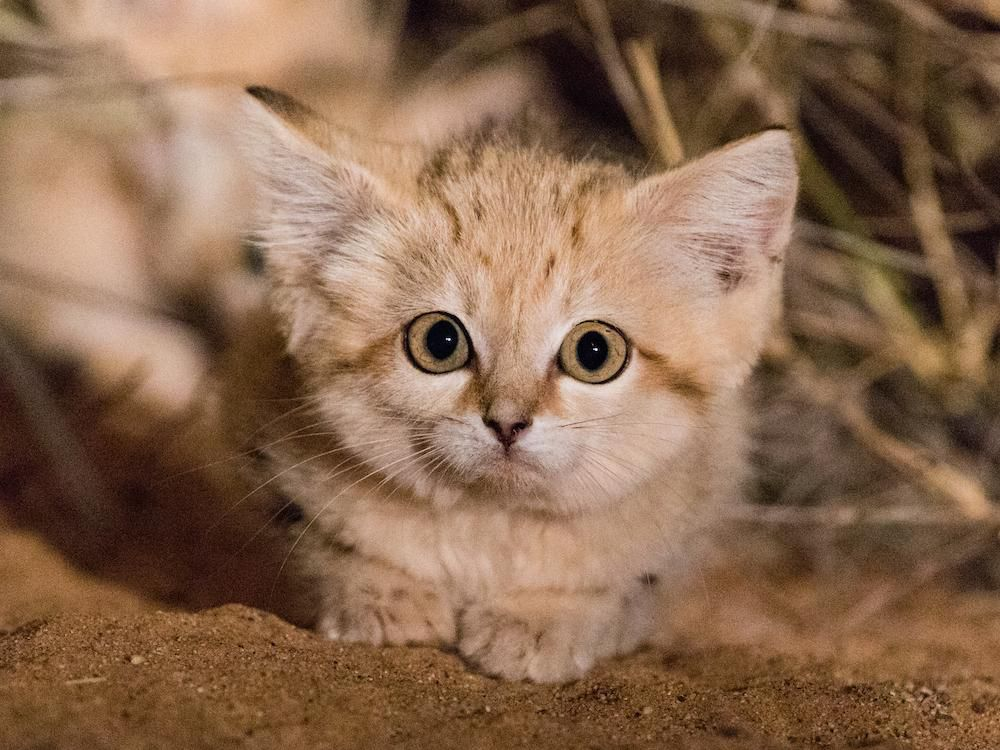 Watch First Video Of Sand Cat Kittens Romping In The Wild Sand Cat Fun Facts About Animals Wild Cats