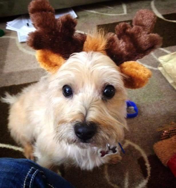 Meet Casper A Petfinder Adoptable Cairn Terrier Dog St Paul