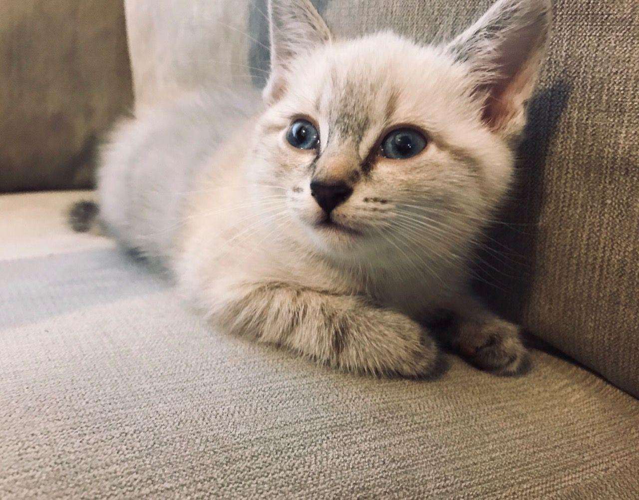 lynx point siamese Google Search Cute cat, Siamese, Lynx