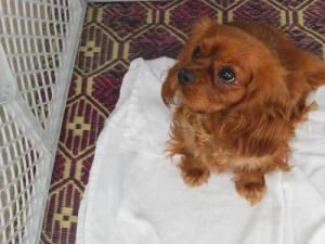 Crimson Is An Adoptable Cavalier King Charles Spaniel Dog In