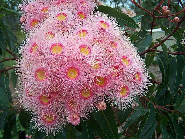 Pink flowering gum flowers gardens and flower pink flowering gum mightylinksfo