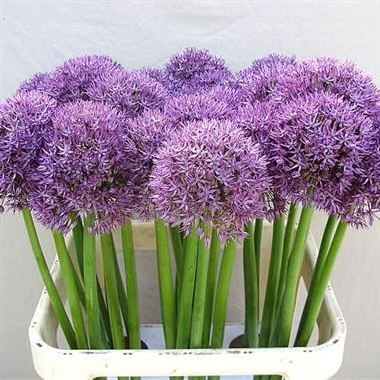 Love These Must Find Out What They Are Emily Toca Elizabeth Toca Garlic Flower Allium Flowers Pretty Flowers