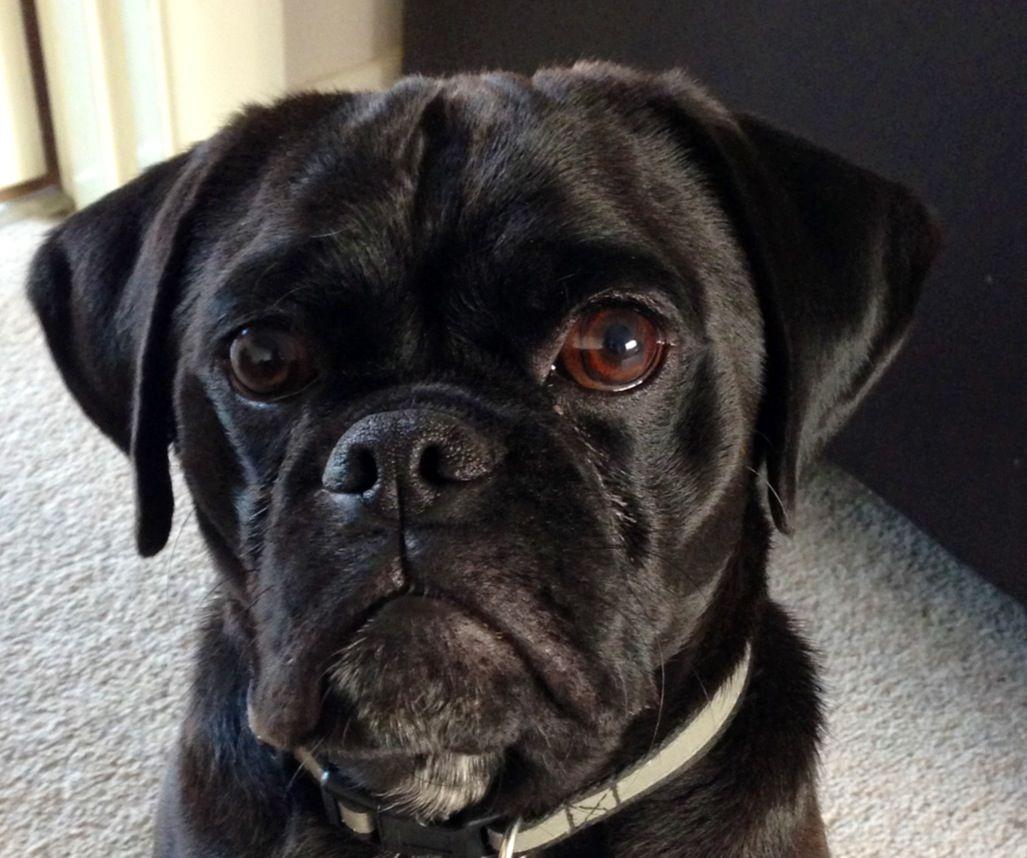 Black Puggle #puggle #blackpuggle #dog   Maverick ...