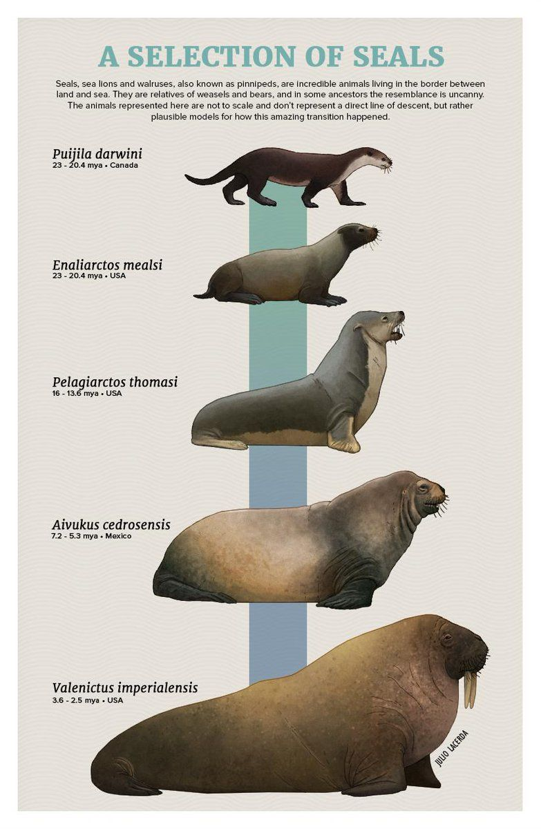 Pinnipedos Infografia De Animales Animales Prehistoricos Animales De La Prehistoria
